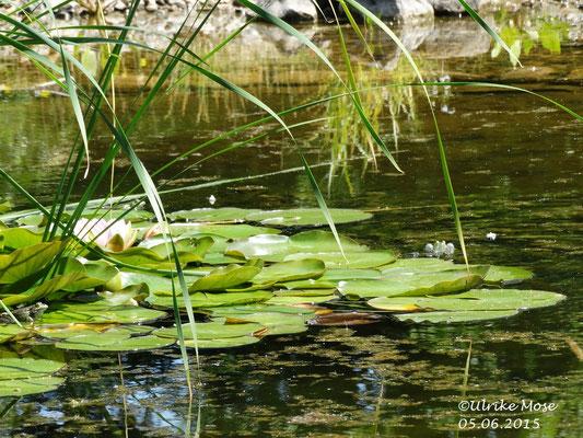 Wasserfrösche tümmeln sich im Teich.