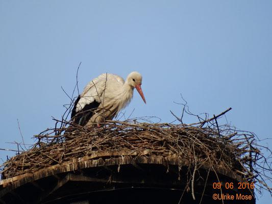 Das Storchenmännchen muss sich nun allein kümmern!