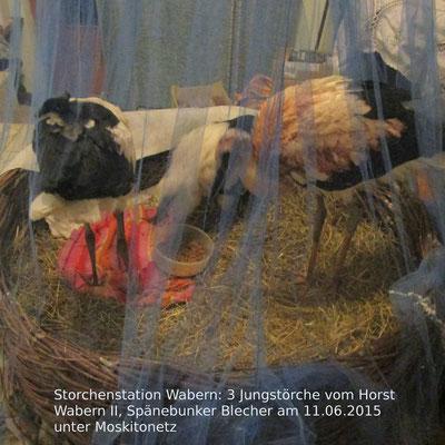 Die drei schwer verletzten Jungstörche in der Pflegestation in Niedermöllrich.