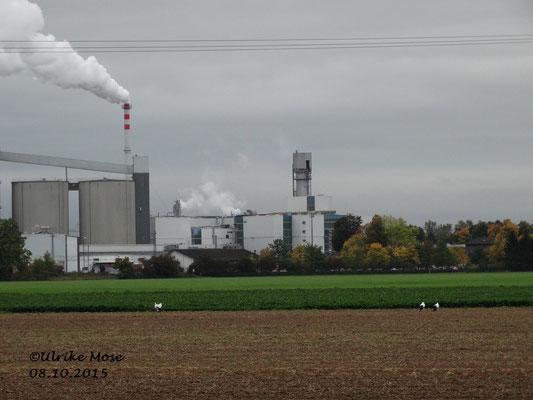 Zwei Storchenpaare auf einem Acker . Im Hintergrund die Zuckerfabrik Wabern.