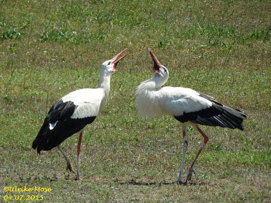 Die Storcheneltern Paul + Pauline. Wer bringt das nächste Wasser zum Nest?