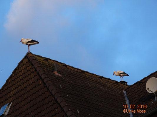 Storchenpaar Jule + George auf dem Dachfirst des Pfarrhauses.