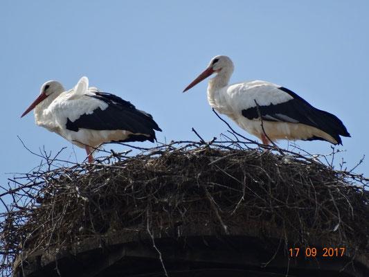 Marie und Paco in diesem Jahr das letzte mal zusammen auf dem Nest. Foto: Ulrike Mose