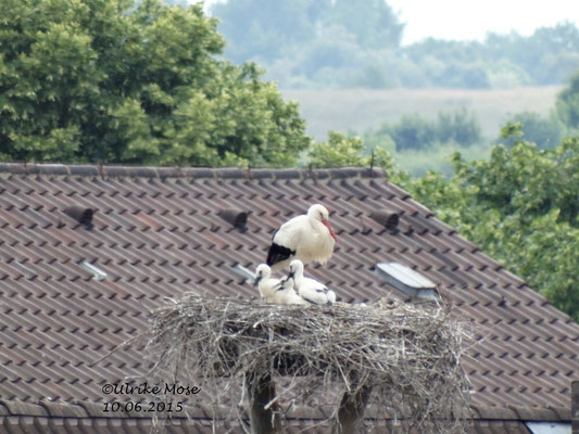 Brutstorch mit seinen Jungen auf dem Riedinger Horst!