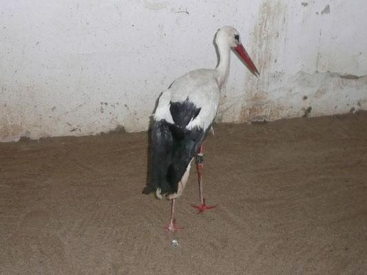 Verletzter Storch in einer Voliere im Vogelpark Uckersdorf.    Foto: Ulrike Mose