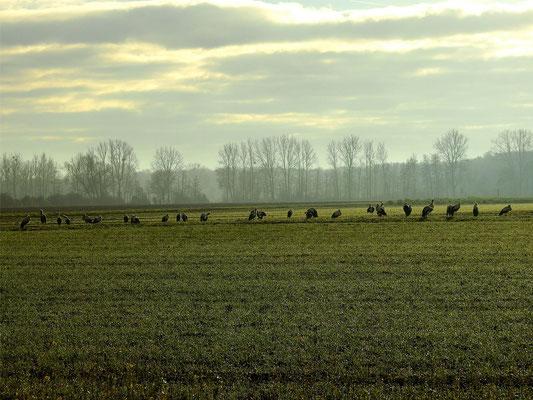 Kleiner Storchentrupp Überwinterer in Büttelborn! Foto: H. Usinger