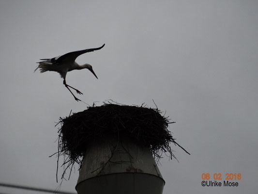 Storchenweibchen Pauline landet auf dem Spänebunker.