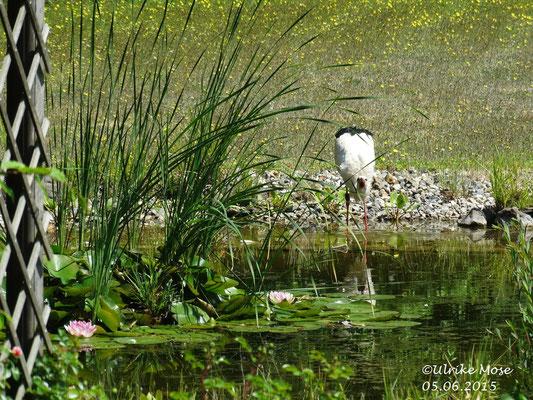 Storchenmama Pauline beim Wasser auftanken.
