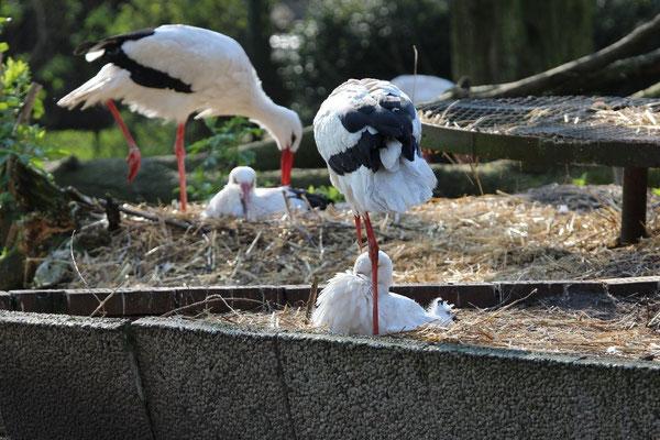 Nicht flugfähige Störche im Tierpark Nadermann in Delbrück – Schöning. Foto: M. Heinze