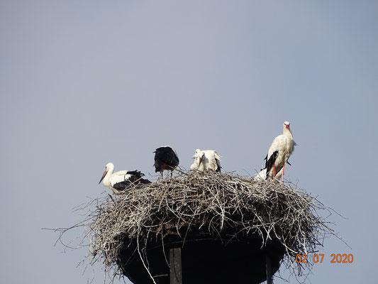 Nun sind alle Jungen wieder auf dem Nest!