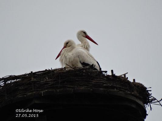Storchenpaar Jule + George von der Eder fühlen sich auf dem Schornstein wohl.