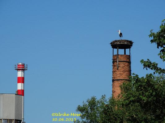 Storchenweibchen Pauline dominiert auf dem Schreinereischornstein. Im Hintergrund der Schornstein von der Zuckerfabrik.