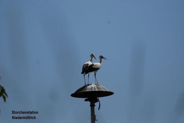 Storchenpaar Jule + George von der Eder auf einer Sirene in Niedermöllrich.