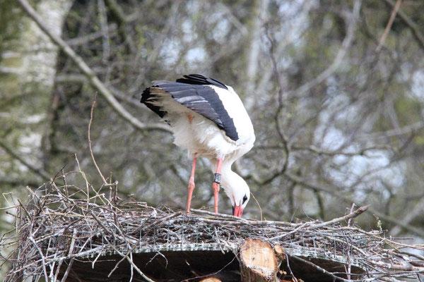 Storch Leo macht Ordnung.      Foto: Manfred Heinze