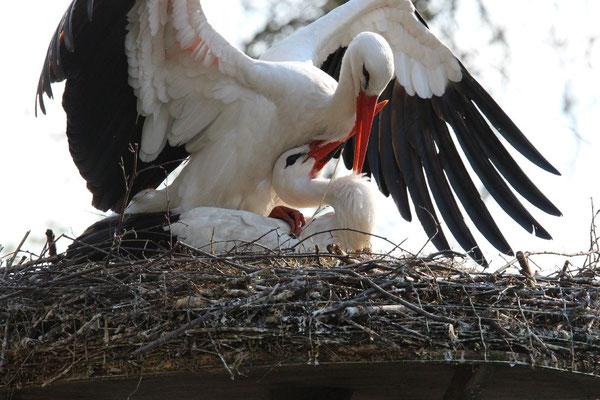 Kopulierendes Flugfähiges Storchenpaar im Tierpark Nadermann in Delbrück – Schöning. Foto: M. Heinze