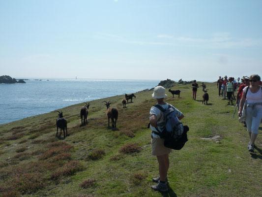 Un troupeau de chèvres en liberté