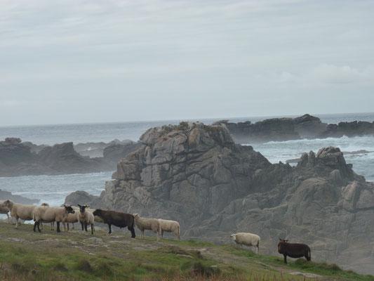Des moutons en totale liberté