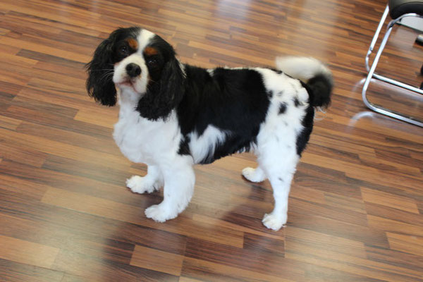 Cavalier King Charles Benny