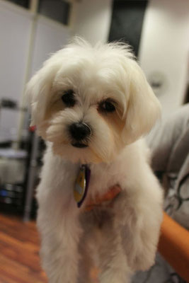 Baby Malteser Lilly