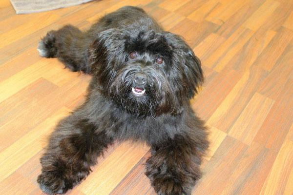 Tibet Terrier Jessy
