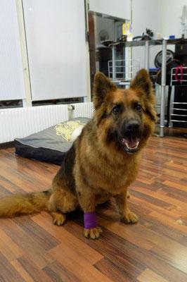 Schäferhund Mischling - gebadet, Unterwolle entfernt und gekürzt
