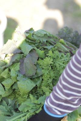 収穫野菜移動中