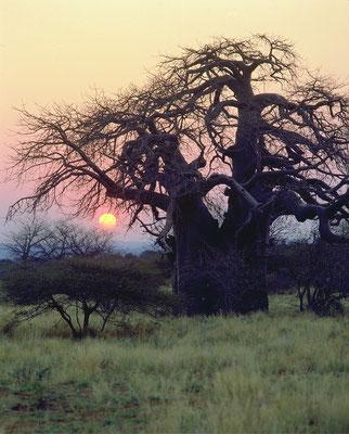 Baobab Baum in Limpopo