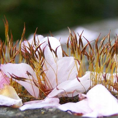 Mandelblüten im Moos