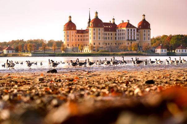 """Schloß Moritzburg und seine """"Besucher"""" im farbiger Herbststimmung."""