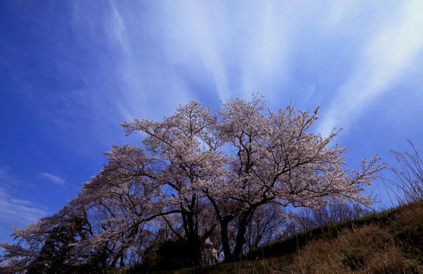 「桜」 砂井 外美子