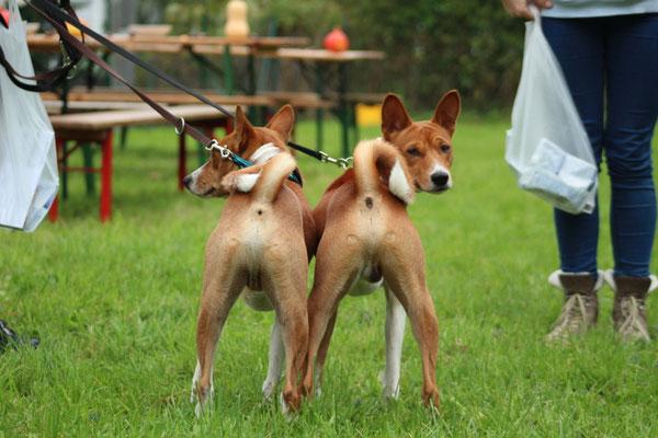 Kani und Thabo - zwei Basenjis
