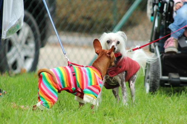 Auch Prager Rattler Keks wird von dem Chinesischen Schopfhund Taluna gleich begrüßt
