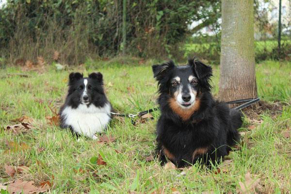 Sheltie Maili und Pearl warten brav
