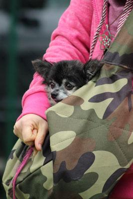 Die alte Chihuahua Dame Luna darf getragen werden