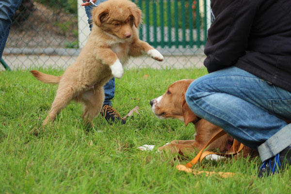 Nova Scottia Duck Tolling Retriever Diego und Goldie-Setter-Mix Odin
