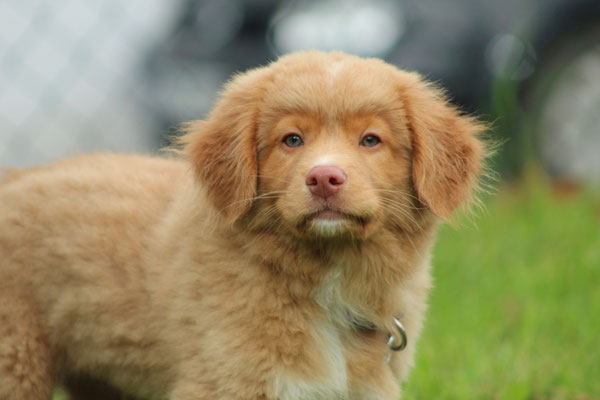 Nova Scottia Duck Tolling Retriever Diego
