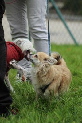 Taluna begrüßt Chihuahua Barolo