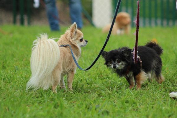 die beiden Chihuahua Barolo und Luna