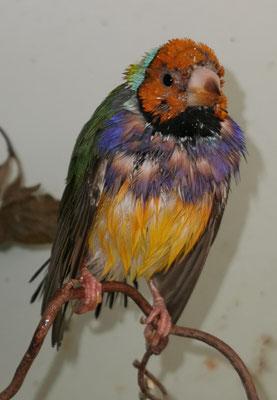 Mauser und baden - da erkennt man seine schönen Vögel nicht mehr...