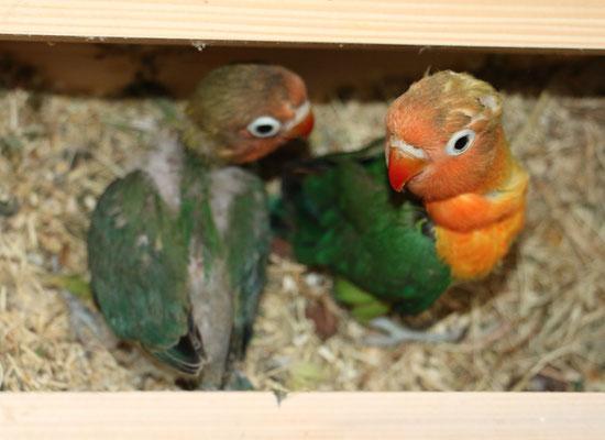 diese beiden sind noch im Nest. Eines natur grün, das andere etwas dunkler