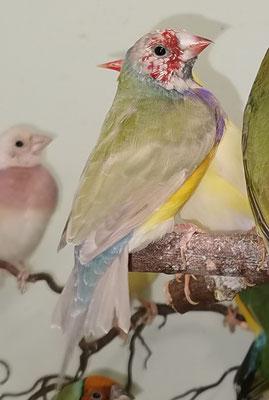 Das Küken ist aus meinem ersten Goulds Zuchtversuch: Hahn, pastell (sf gelb) , rk