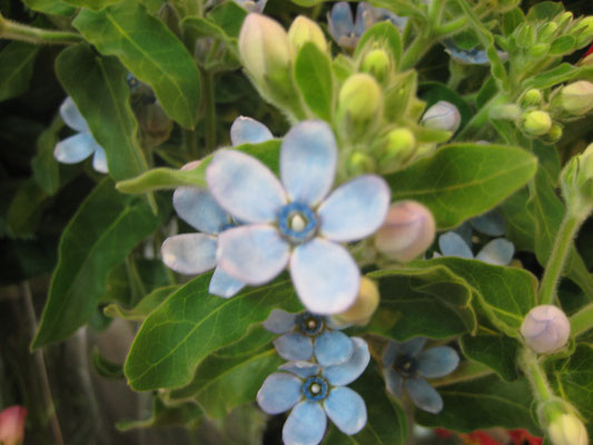 「JA土佐あき」芸西集出荷場花卉部会ブルースター部会のオリジナル品種「ピュアブルー」
