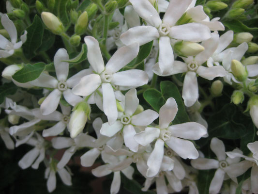 福岡県産 従来種系ホワイト