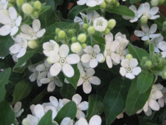 高知県の笹岡花卉農園さんオリジナル品種「マーブルホワイト」