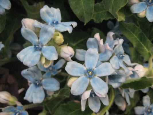 「JA土佐あき」芸西集出荷場花卉部会ブルースター部会の大輪品種「エンジェル」