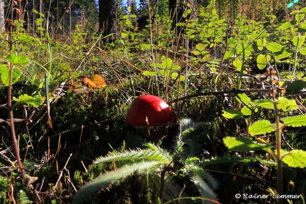 Pilze im Wald bei Mehren