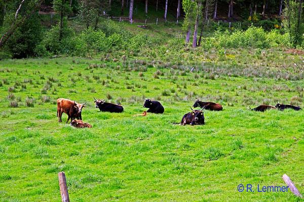 Kühe beim Heulbach