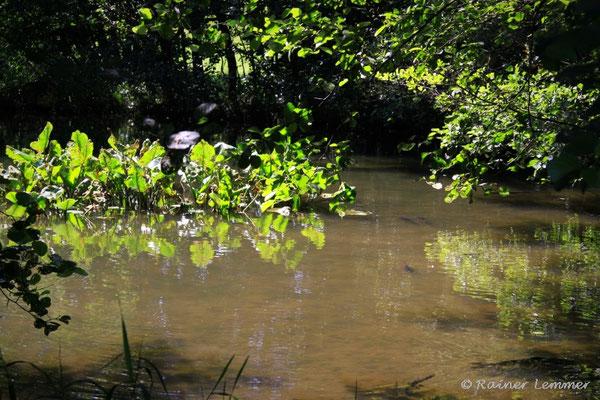Karpfen im Teich vor Limbach