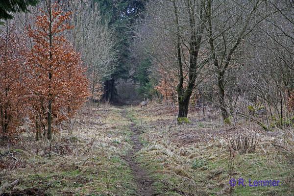 Reh im Wald Richtung Seck