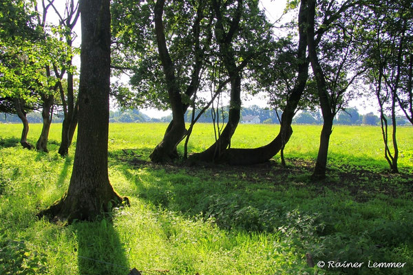 Waagrecht wachsende Bäume